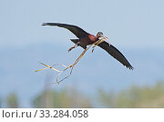 Купить «Glossy ibis (Plegadis falcinellus) flying in with nesting material to the breeding colony. Los Rodells Nature Reserve, Ebro Delta, Catalonia, Spain, April.», фото № 33284058, снято 9 апреля 2020 г. (c) Nature Picture Library / Фотобанк Лори
