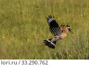 Купить «Eurasian hoopoe, Upupa epops, flying having an insect in his beak, Kiskunsági Nemzeti national park, Hungary.», фото № 33290762, снято 15 июня 2019 г. (c) age Fotostock / Фотобанк Лори