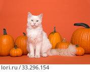 Купить «Pretty white long haired ragdoll cat with blue eyes sitting between orange pumpkins on an orange background looking at the camera», фото № 33296154, снято 9 сентября 2019 г. (c) Elles Rijsdijk / Фотобанк Лори