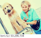 Купить «woman hairdresser cuts Afghan puppy Shepherd in beauty salon for animals», фото № 33296734, снято 17 октября 2017 г. (c) Татьяна Яцевич / Фотобанк Лори