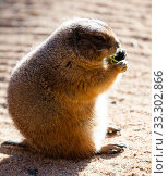 Купить «Black tailed prairie dog (Cynomys ludovicianus)», фото № 33302866, снято 2 июня 2020 г. (c) Яков Филимонов / Фотобанк Лори