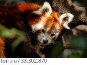 Купить «Rare red panda sitting on branch in park outdoor», фото № 33302870, снято 29 марта 2020 г. (c) Яков Филимонов / Фотобанк Лори