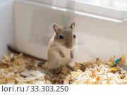 Купить «Little mouse, gerbil cub sitting in a box with sawdust», фото № 33303250, снято 15 июля 2020 г. (c) Екатерина Кузнецова / Фотобанк Лори