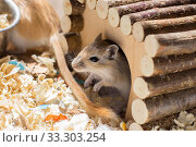Купить «A small domestic gerbil rodent peeps out of his wooden house in a sawdust cage», фото № 33303254, снято 30 мая 2020 г. (c) Екатерина Кузнецова / Фотобанк Лори