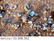 macro shot of a lively mollusk moving along the sand at Hikkaduwa Beach in Sri Lanka (2019 год). Стоковое фото, фотограф katalinks / Фотобанк Лори