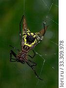 Купить «Arrow-shaped Orb Weaver Spider (Micrathena brevipes), Costa Rica», фото № 33309978, снято 14 июля 2020 г. (c) Nature Picture Library / Фотобанк Лори