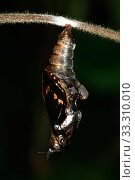 White Admiral Butterfly adult emerging from pupa (Ladoga camilla), UK. Sequence 8 of 19. Стоковое фото, фотограф Robert Pickett / Nature Picture Library / Фотобанк Лори