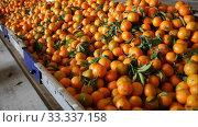 Купить «Ripe tangerines on sorting line in fruit warehouse», видеоролик № 33337158, снято 10 декабря 2019 г. (c) Яков Филимонов / Фотобанк Лори