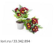 Купить «Хризантема с бордовыми цветами. Комнатный многолетний цветок на белом фоне», фото № 33342894, снято 1 июня 2020 г. (c) Наталья Осипова / Фотобанк Лори