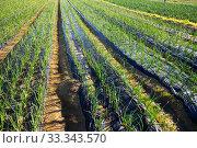 Field planted with scallions. Стоковое фото, фотограф Яков Филимонов / Фотобанк Лори