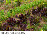 Rows of harvest of lettuce, beet and garlic in garden. Стоковое фото, фотограф Яков Филимонов / Фотобанк Лори