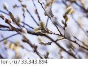 Купить «spring shoots on salix branches», фото № 33343894, снято 26 января 2020 г. (c) Татьяна Яцевич / Фотобанк Лори