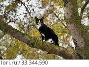 Купить «Кошка забралась на дерево», эксклюзивное фото № 33344590, снято 6 октября 2019 г. (c) Dmitry29 / Фотобанк Лори