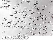 Купить «Magnificent Frigatebird (Fregata magnificens) flying, Ria Celestun Biosphere Reserve, Yucatan Peninsula, Mexico, January», фото № 33356810, снято 31 мая 2020 г. (c) Nature Picture Library / Фотобанк Лори