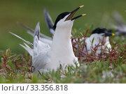 Купить «Sandwich Tern (Thalasseus / Sterna sandvicensis) nesting, Ria Lagartos Biosphere Reserve, Yucatan Peninsula, Mexico, May», фото № 33356818, снято 31 мая 2020 г. (c) Nature Picture Library / Фотобанк Лори
