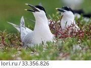 Купить «Sandwich Tern (Thalasseus / Sterna sandvicensis) nesting, Ria Lagartos Biosphere Reserve, Yucatan Peninsula, Mexico, May», фото № 33356826, снято 31 мая 2020 г. (c) Nature Picture Library / Фотобанк Лори