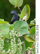 Купить «Groove-billed Ani (Crotophaga sulcirostris), Ria Lagartos Biosphere Reserve, Yucatan Peninsula, Mexico, May», фото № 33356834, снято 12 июля 2020 г. (c) Nature Picture Library / Фотобанк Лори