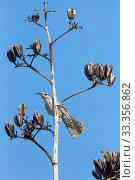 Купить «Yucatan Wren (Campylorhynchus yucatanicus) perched on Agave seed head, Ria Celestun Biosphere Reserve, Yucatan Peninsula, Mexico, August», фото № 33356862, снято 31 мая 2020 г. (c) Nature Picture Library / Фотобанк Лори