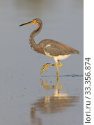 Купить «Tricolored Heron (Egretta tricolor), Chuburna, Yucatan Peninsula, Mexico, January», фото № 33356874, снято 12 июля 2020 г. (c) Nature Picture Library / Фотобанк Лори