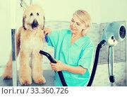 Купить «hairdresser professional dries hair by fen dog fur Afghan hound dog in hairdresser for animal», фото № 33360726, снято 17 октября 2017 г. (c) Татьяна Яцевич / Фотобанк Лори