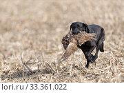 Купить «Labrador retrieving a Common pheasant (Phasianus colchicus) Bas-Rhin, France, November.», фото № 33361022, снято 4 апреля 2020 г. (c) Nature Picture Library / Фотобанк Лори