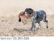 Купить «Spaniel retrieving a Common pheasant (Phasianus colchicus) Bas-Rhin, France, November.», фото № 33361026, снято 4 апреля 2020 г. (c) Nature Picture Library / Фотобанк Лори