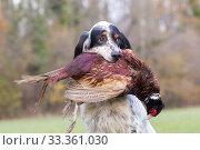 Купить «English Setter dog retrieving a pheasant (Phasianus colchicus) Bas-Rhin, France, November.», фото № 33361030, снято 4 апреля 2020 г. (c) Nature Picture Library / Фотобанк Лори