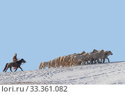 Man on horseback driving horses in a meadow covered with snow, Bashang Grassland, Zhangjiakou, Hebei Province, Mongolian mania, China. Стоковое фото, фотограф Sylvain Cordier / Nature Picture Library / Фотобанк Лори