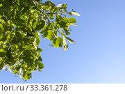Купить «Linden blossom, green branch with green buds», фото № 33361278, снято 23 июня 2019 г. (c) EugeneSergeev / Фотобанк Лори