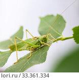 Крупный кузнечик сидит на зелёной листве дерева. Стоковое фото, фотограф Игорь Низов / Фотобанк Лори
