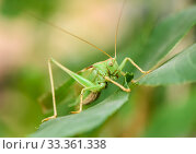 Большой кузнечик сидит на листве. Стоковое фото, фотограф Игорь Низов / Фотобанк Лори