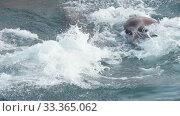 Group of wild animal marine mammal Steller Sea Lion swimming water Pacific Ocean. Стоковое видео, видеограф А. А. Пирагис / Фотобанк Лори