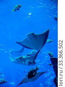 Купить «Photo of a tropical fish on a coral reef in Dubai aquarium. Stingray fish», фото № 33366502, снято 13 июля 2020 г. (c) age Fotostock / Фотобанк Лори