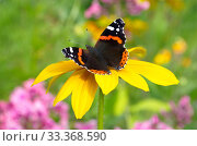 Купить «Бабочка Адмирал (лат. Vanessa atalanta) на желтом цветке рудбекии», фото № 33368590, снято 12 августа 2019 г. (c) Елена Коромыслова / Фотобанк Лори