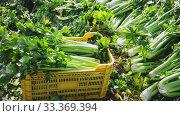 Купить «Closeup of freshly harvested green celery in plastic boxes on plantation in sunny day», видеоролик № 33369394, снято 4 апреля 2020 г. (c) Яков Филимонов / Фотобанк Лори