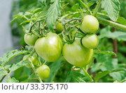 Купить «Зеленые помидоры крупным планом», фото № 33375170, снято 15 июля 2019 г. (c) Елена Коромыслова / Фотобанк Лори