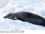 Купить «Leopard seal (Hydrurga leptonyx), Antarctic Peninsula», фото № 33377310, снято 3 июля 2020 г. (c) easy Fotostock / Фотобанк Лори