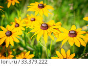Floral garden decorative pattern. Bright background, holiday card from the buds of blooming yellow echinacea. Perennial medicinal perennial cultivated plant of the rudbeckia of the astrov family. Стоковое фото, фотограф Светлана Евграфова / Фотобанк Лори