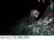 Sunda clouded leopard (Neofelis diardi) at night, yawning, Deramakot Forest Reserve, Sabah, Malaysian Borneo. Стоковое фото, фотограф Ben  Cranke / Nature Picture Library / Фотобанк Лори
