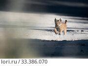 Купить «Iberian lynx (Lynx pardinus) cub running, Sierra de Andujar Natural Park, Andalucia, Spain», фото № 33386070, снято 14 июля 2020 г. (c) Nature Picture Library / Фотобанк Лори