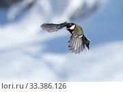 Купить «Great tit (Parus major) male in flight,Bavaria, Germany. February.», фото № 33386126, снято 30 марта 2020 г. (c) Nature Picture Library / Фотобанк Лори