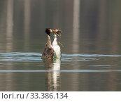 Купить «Great crested grebe (Podiceps cristatus) pair courtship display, Bavaria, Germany. April.», фото № 33386134, снято 4 апреля 2020 г. (c) Nature Picture Library / Фотобанк Лори