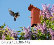 Купить «Starling (Sturnus vulgaris) flying to nest box with food in beak, Germany. May.», фото № 33386142, снято 30 марта 2020 г. (c) Nature Picture Library / Фотобанк Лори