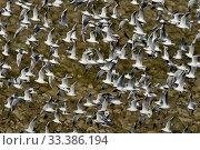 Купить «Black-headed gull (Chroicocephalus ridibundus) flock in flight, Lac du Der, Marne, France. November.», фото № 33386194, снято 5 июня 2020 г. (c) Nature Picture Library / Фотобанк Лори