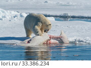 Купить «Polar bear (Ursus maritimus) feeding on dead beluga whale carcass, in the pack ice near Kong Karls Land, Spitsbergen, Svalbard, Norway.July.», фото № 33386234, снято 29 марта 2020 г. (c) Nature Picture Library / Фотобанк Лори