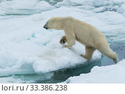 Купить «Polar bear (Ursus maritimus) on pack ice, Spitsbergen, Svalbard, Norway.July.», фото № 33386238, снято 30 марта 2020 г. (c) Nature Picture Library / Фотобанк Лори