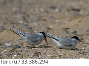 Little Terns ( Sterna albifrons ) displaying prior to nesting, Denbighshire, Wales, UK. March. Стоковое фото, фотограф David  Woodfall / Nature Picture Library / Фотобанк Лори