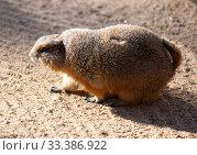 Купить «Black tailed prairie dog (Cynomys ludovicianus)», фото № 33386922, снято 2 июня 2020 г. (c) Яков Филимонов / Фотобанк Лори