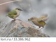 Купить «New Zealand rock wren (Xenicus gilviventris) pair perched on rock, female with caterpillar in beak presented to her by male in courtship. Arthur&#39...», фото № 33386962, снято 3 апреля 2020 г. (c) Nature Picture Library / Фотобанк Лори