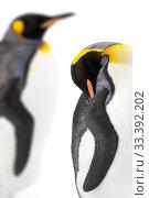 Купить «King penguins (Aptenodytes patagonicus). Grytviken, South Georgia. November.», фото № 33392202, снято 2 июня 2020 г. (c) Nature Picture Library / Фотобанк Лори
